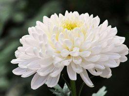 các loại hoa cúc