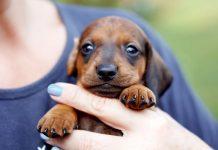 cách nuôi chó lạp xưởng 2 tháng tuổi
